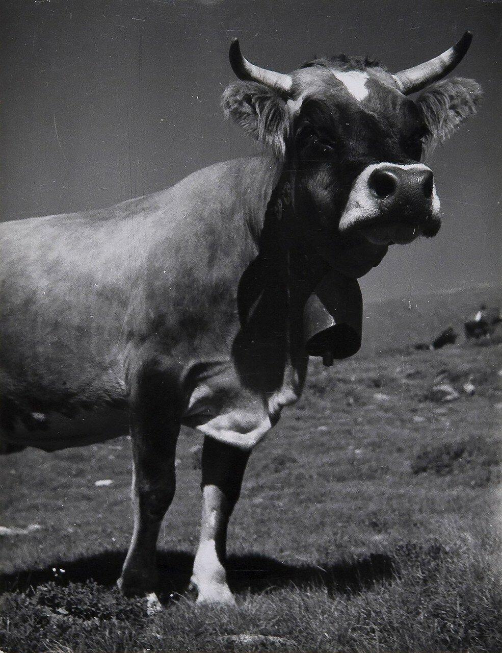 1935. Корова