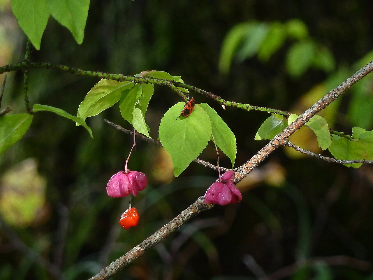 Бересклет бородавчатый (Euonymus verrucosa). Автор фото: Сергей Апполонов