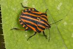 Полужесткокрылые (Hemiptera)