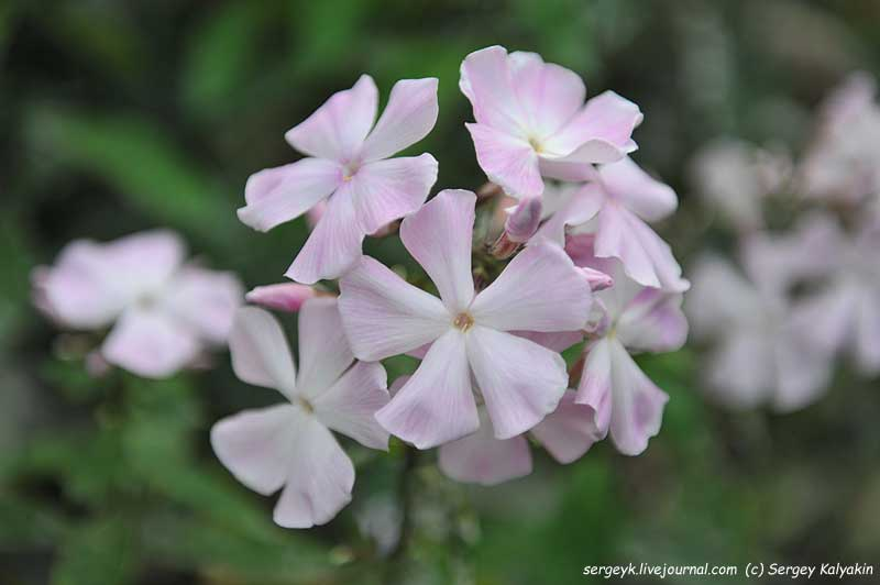 Phlox paniculata Ksenia (2).JPG