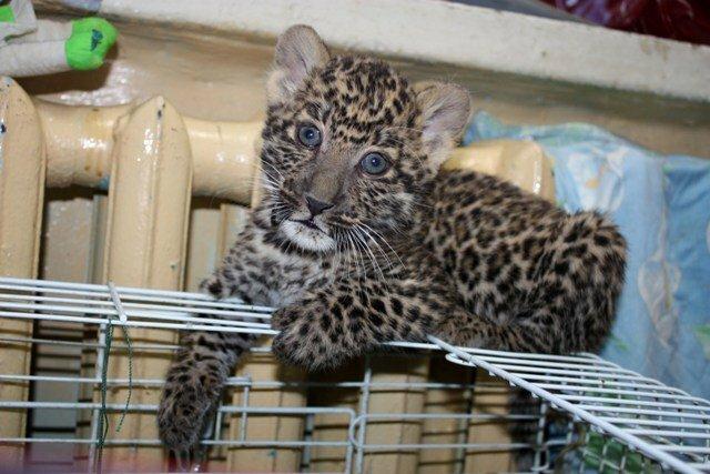 Детёныш леопарда (21.05.2013)