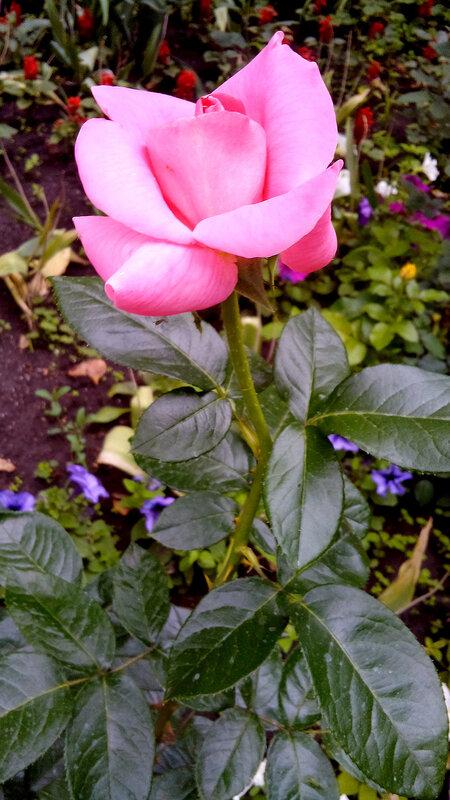 Роза-10.jpg