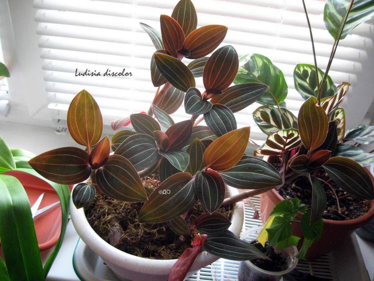 Драгоценная орхидея растет после пересадки