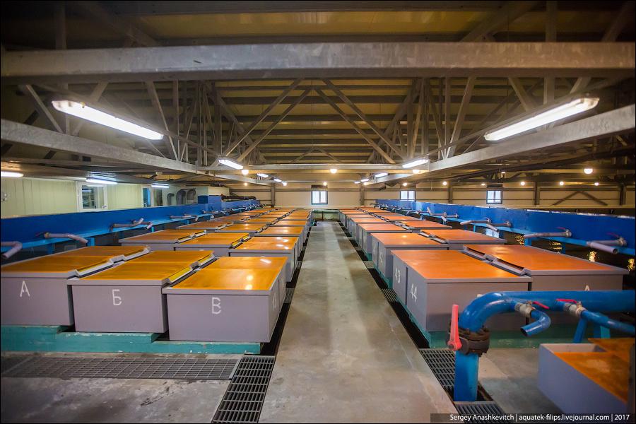 Как выращивают лосося