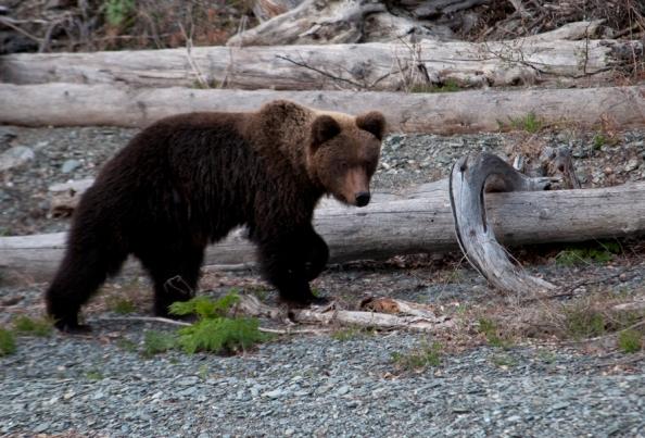 Открытки Всемирный день дикой природы. Бурый медведь