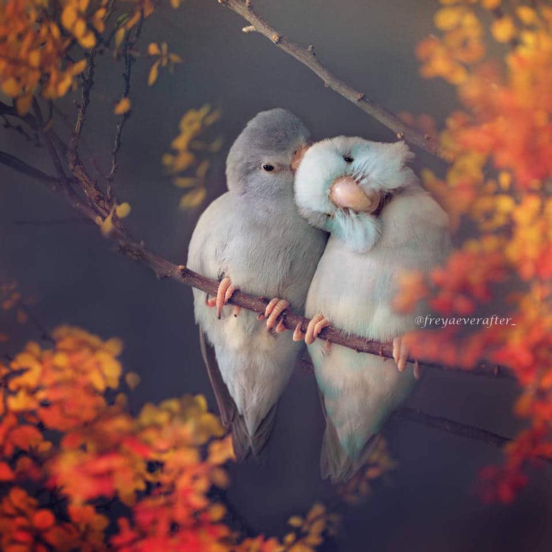 Love Birds – When a photographer captures love between her parakeets