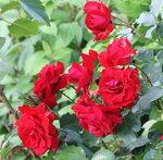 IMG_5019    роза флорибунда Ротер Драхе (Roter Drache)  Kordes,  2012
