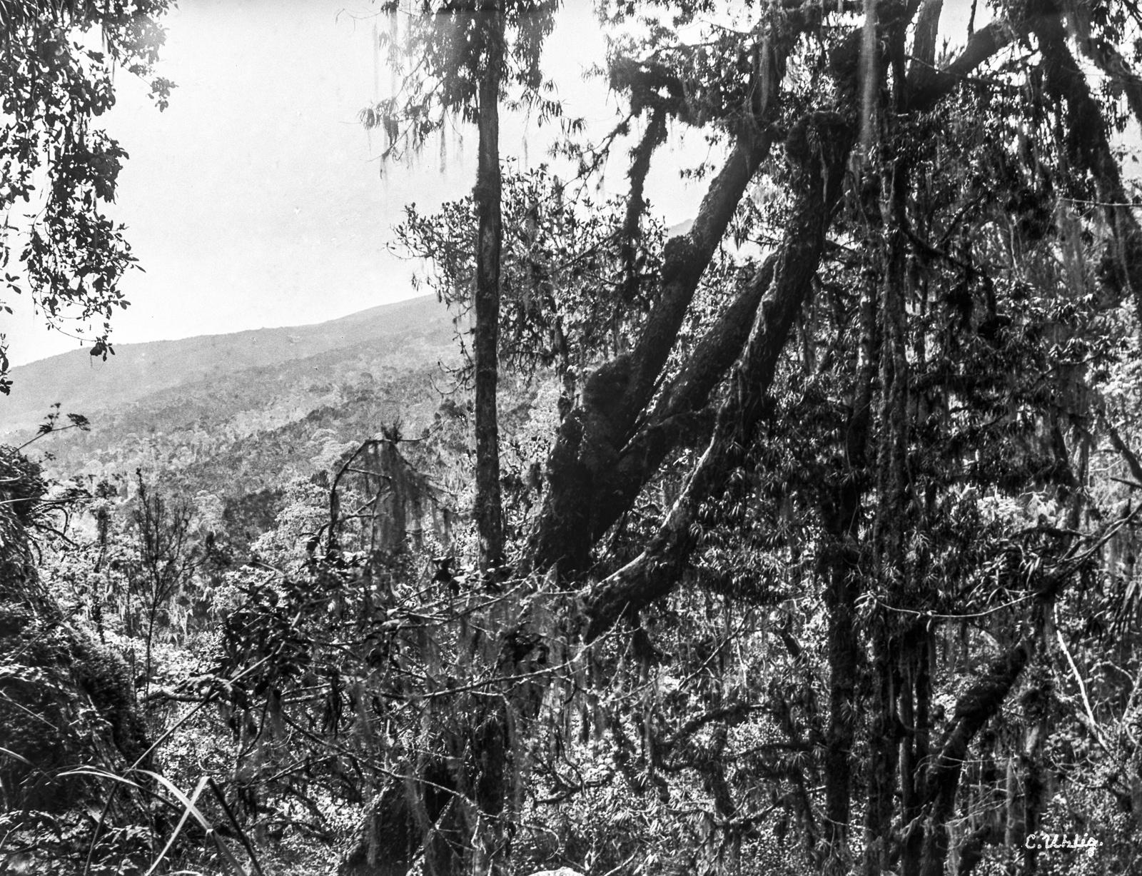 155. Тропический лес на высоте около 2600 метров на Килиманджаро