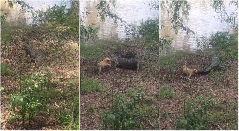 Храбрый пёсик прогнал 3,5-метрового крокодила