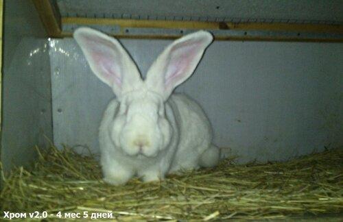 Бельгийский Великан(Обр,Ризен,Фландр) Кролики гиганты.часть 2 - Страница 37 0_cc5f9_70bc763e_L