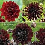 Dahlia Burgundy. Dahlia Collection