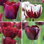 Tulip Bountiful Burgundy. Tulip Collection