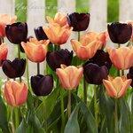 Tulip Continental