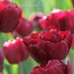 Tulip Midnight Magic