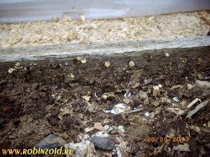 грибы бокальчики