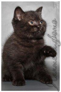 черный британский короткошерстный кот