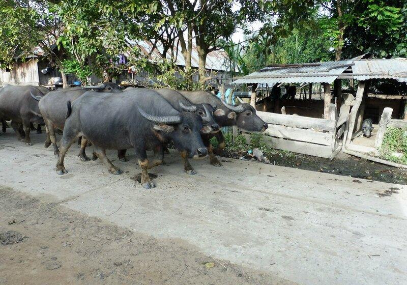 Стадо буйвололв