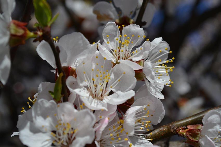 Расцвели абрикосы и магнолии. Весна пришла