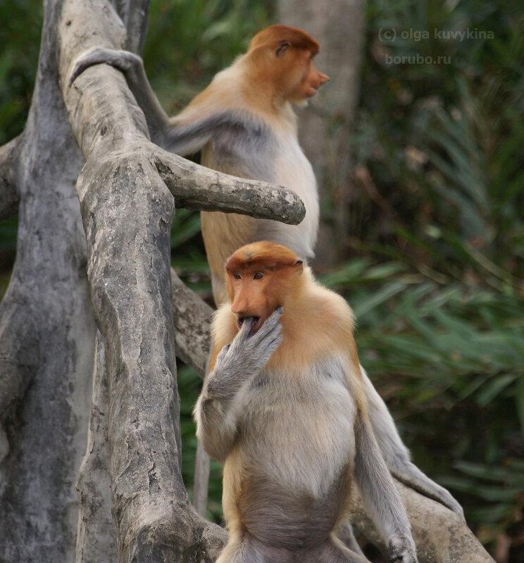 Молодые носачи, Борнео, Лабук Бэй