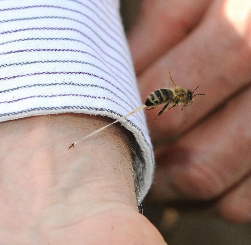 Жало пчелы.