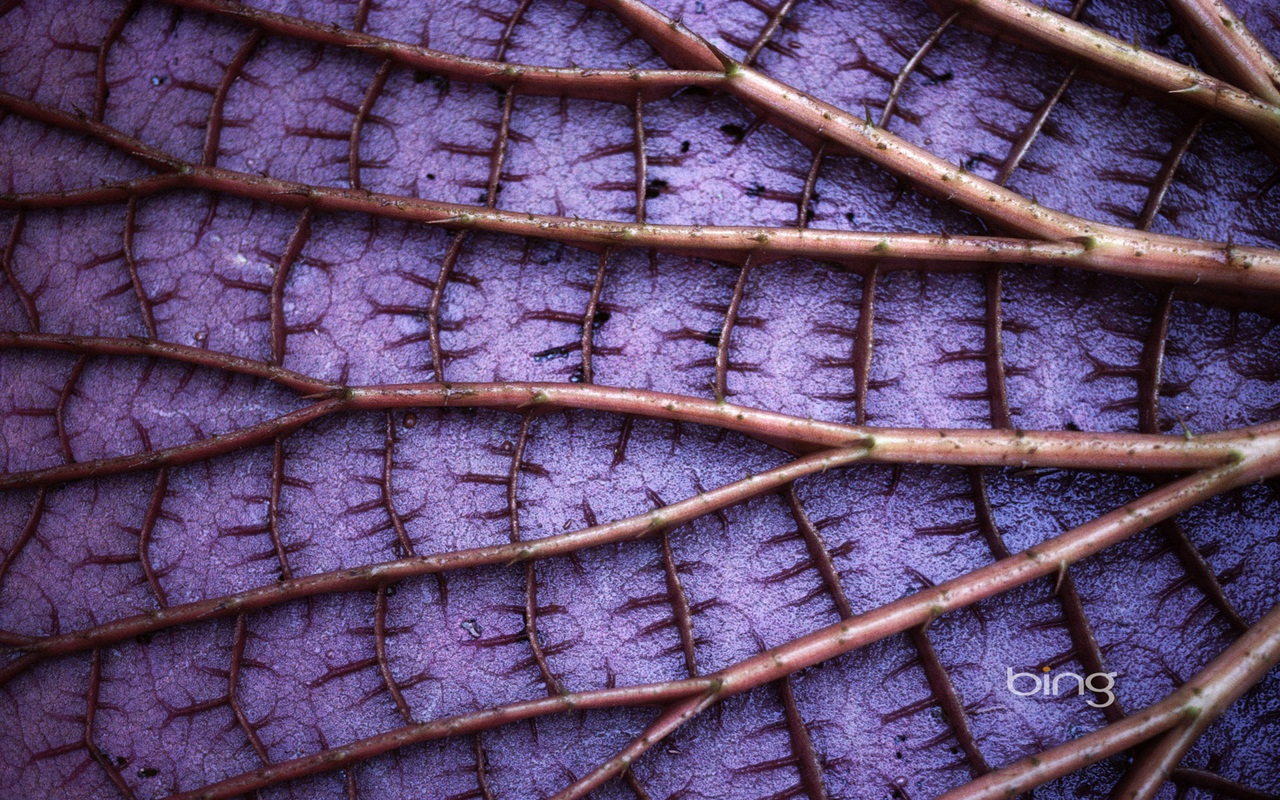 Detail of a Giant Amazon Lily Pad, Amazonas State, Brazil