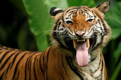 Три грузина получили ранения после «общения» с двумя тиграми