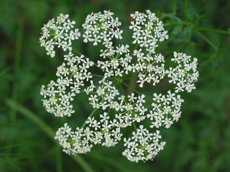 Ядовитые цветы которые могут