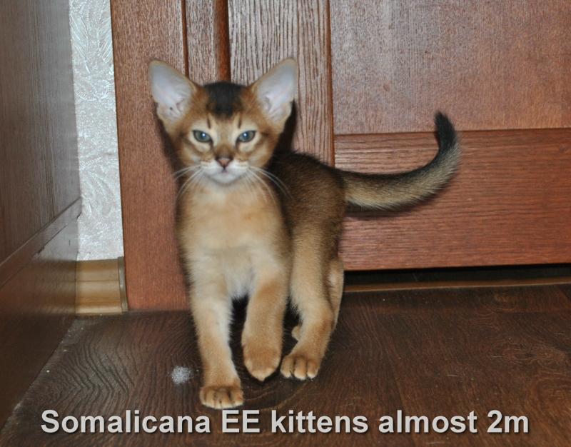 котенок абиссинский
