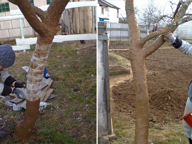 Лечение поврежденного ствола яблони: эксперимент