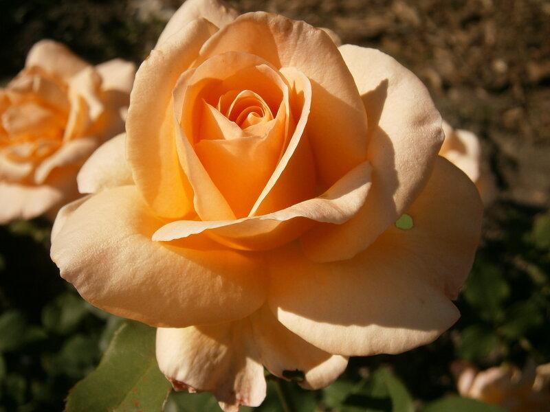 Парк ботанического сада. Розы