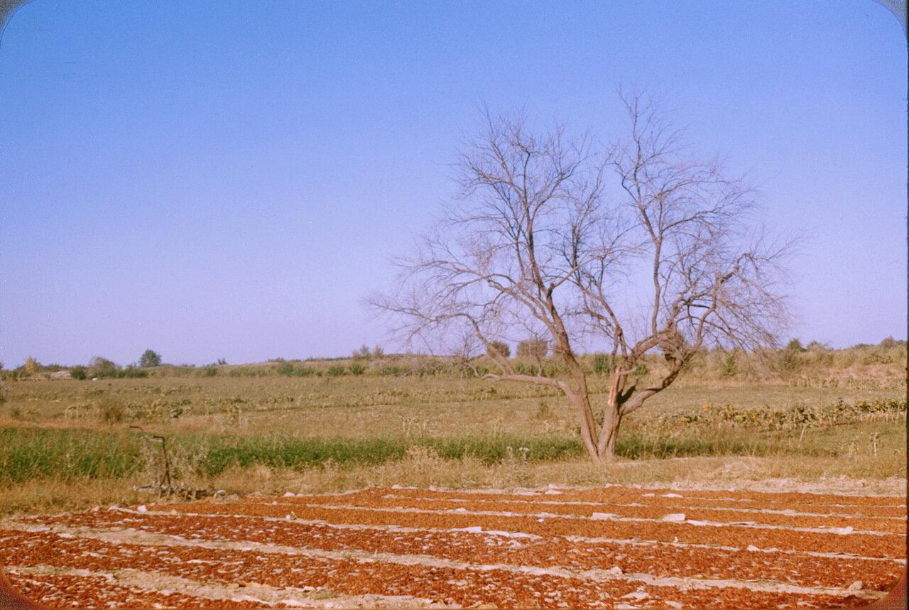Сушка винограда в колхозе им. Сталина
