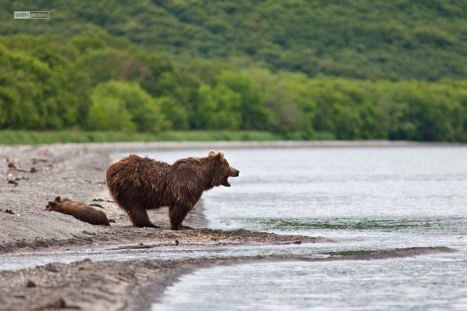 дикая природа животные Камчатка медведи