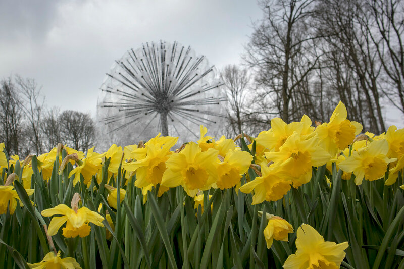 the Yellow daffodils near a fountain in the background of trees in a botanical garden in Keukenhof