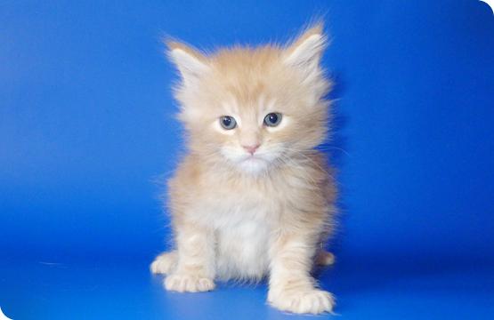 Мейн-кун котенок кремовый мраморный с белым цена продажа