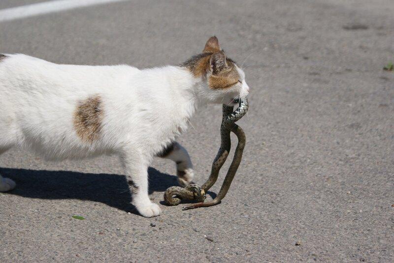 кот-змеелов
