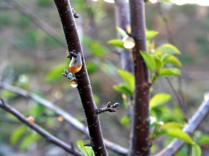 Капли на стволе вишни