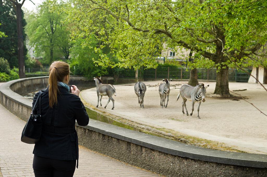 Вот так, почти, свободно гуляют зебры. Поездка в зоопарк во Франкфурте.