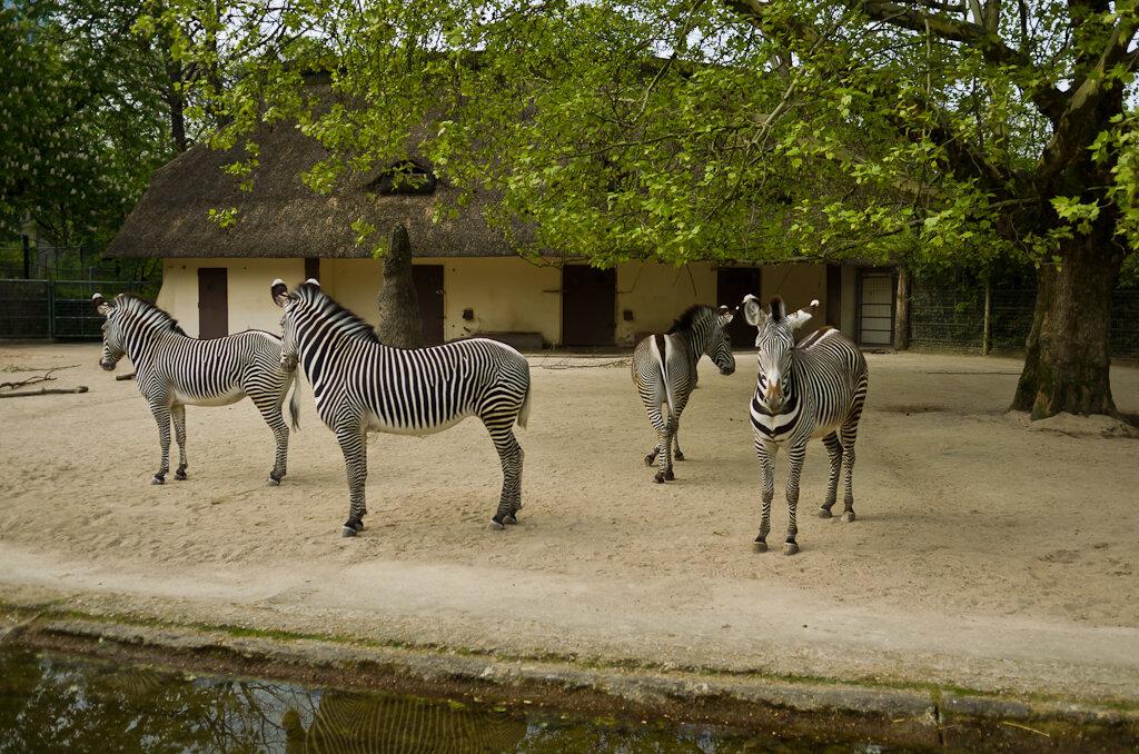 Полосатые символы африканской саванны. Отзыв об экскурсии в зоопарк Франкфурта.