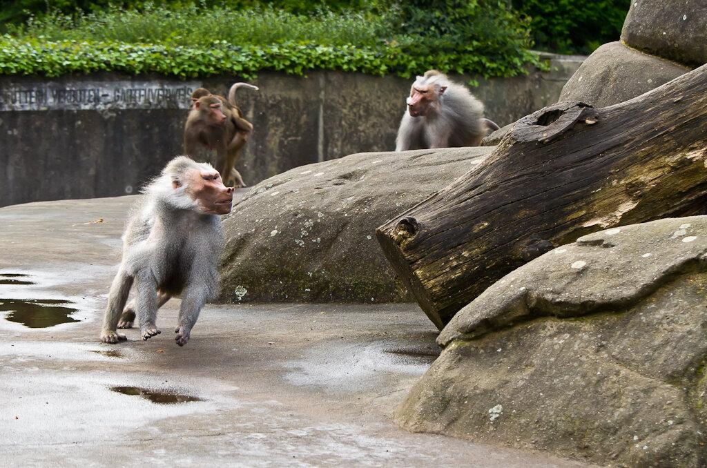 Фото 3. Фокус, по-моему, на Nikon 70-300 работает нормально. Обезьяны в зоопарке Франкфурта-на-Майне