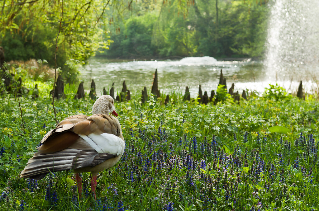 Во франкфуртском зоопарке утки свободно гуляют по газонам. Камера Nikon D5100 с объективом Nikon 17-55mm f/2.8G.