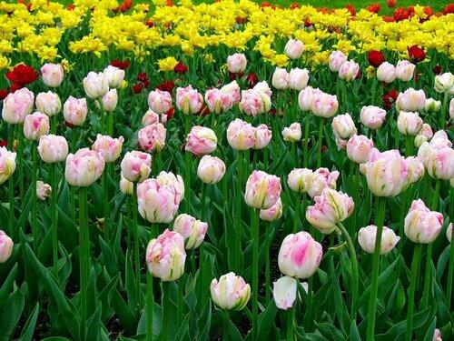 Тюльпанная поляна