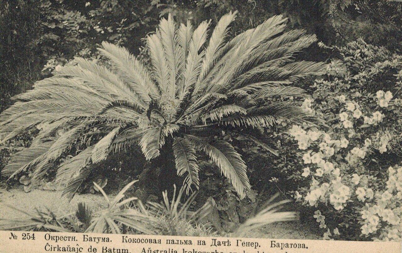 Окрестности Батума. Кокосовая пальма на даче генерала Баратова