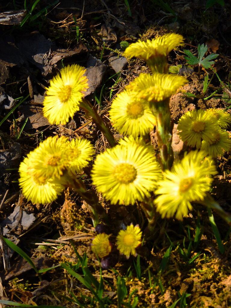 У апреля первенцы-цветы всюду на лужайках расцвели.