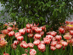 тюльпаны пионовидные.jpg
