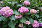 Hydrangea_Bush.jpg