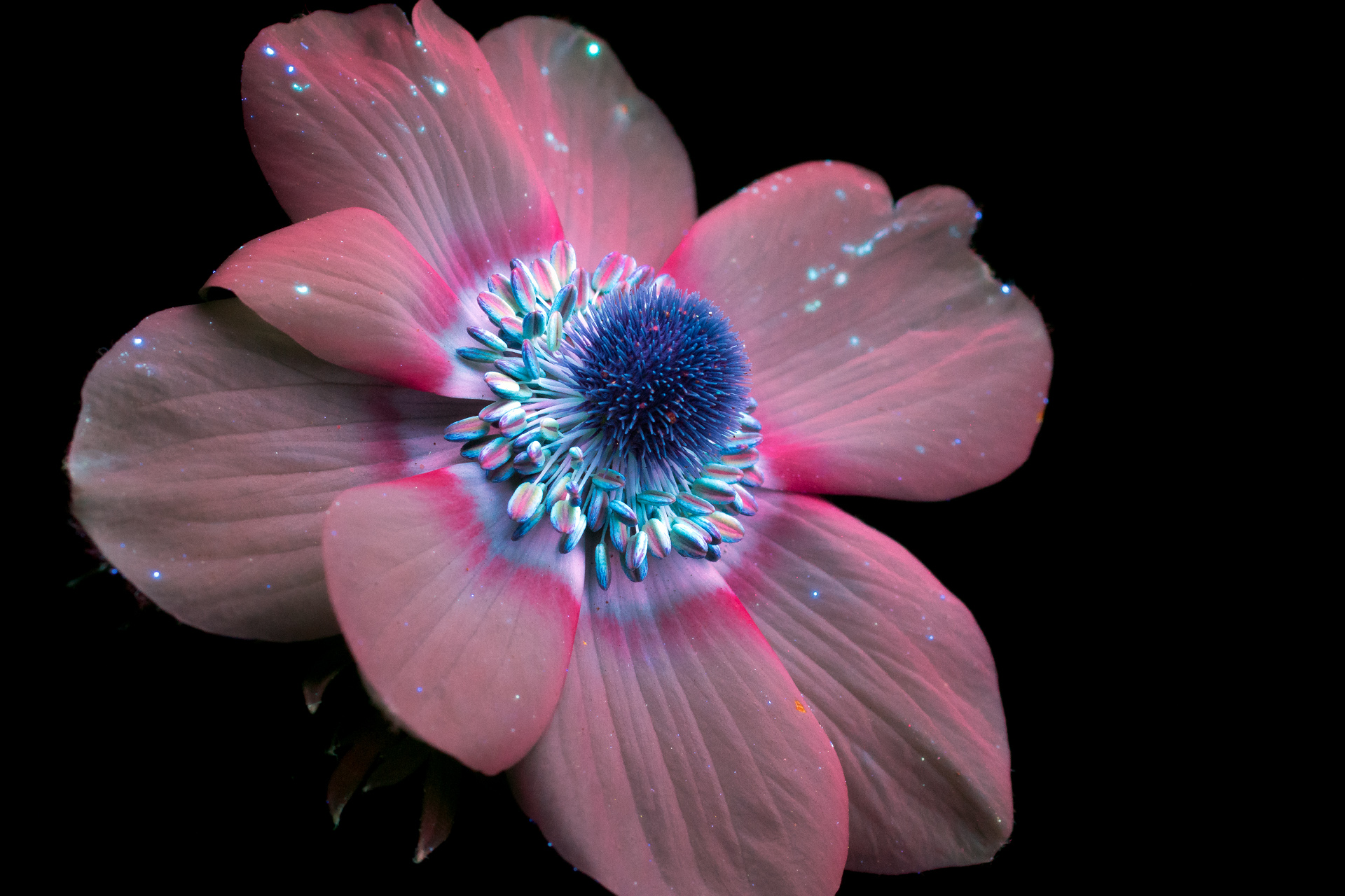New Sparkling Blooms Photographed with Ultraviolet-Induced Visible Fluorescence by Craig Burrows