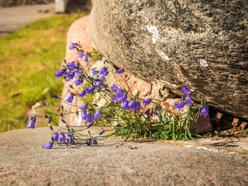 Колокольчики расцвели прямо на камнях.
