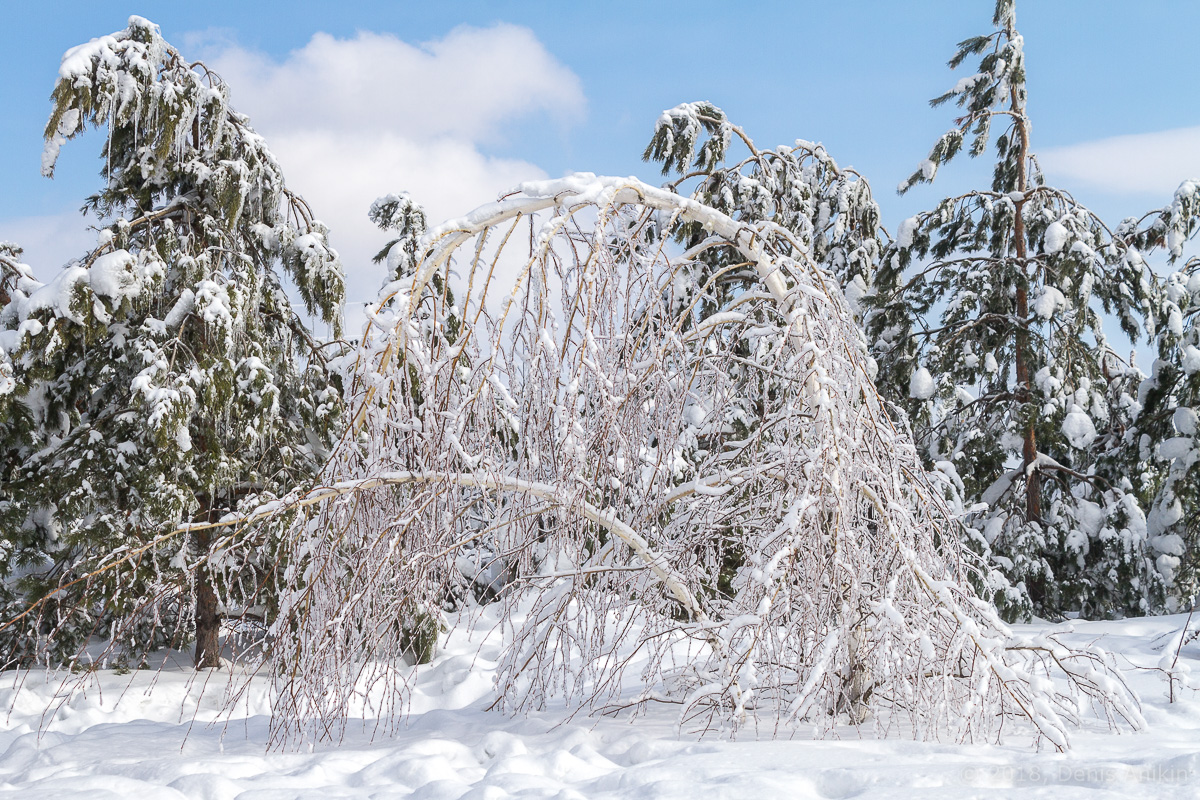 березы в снегу фото 7
