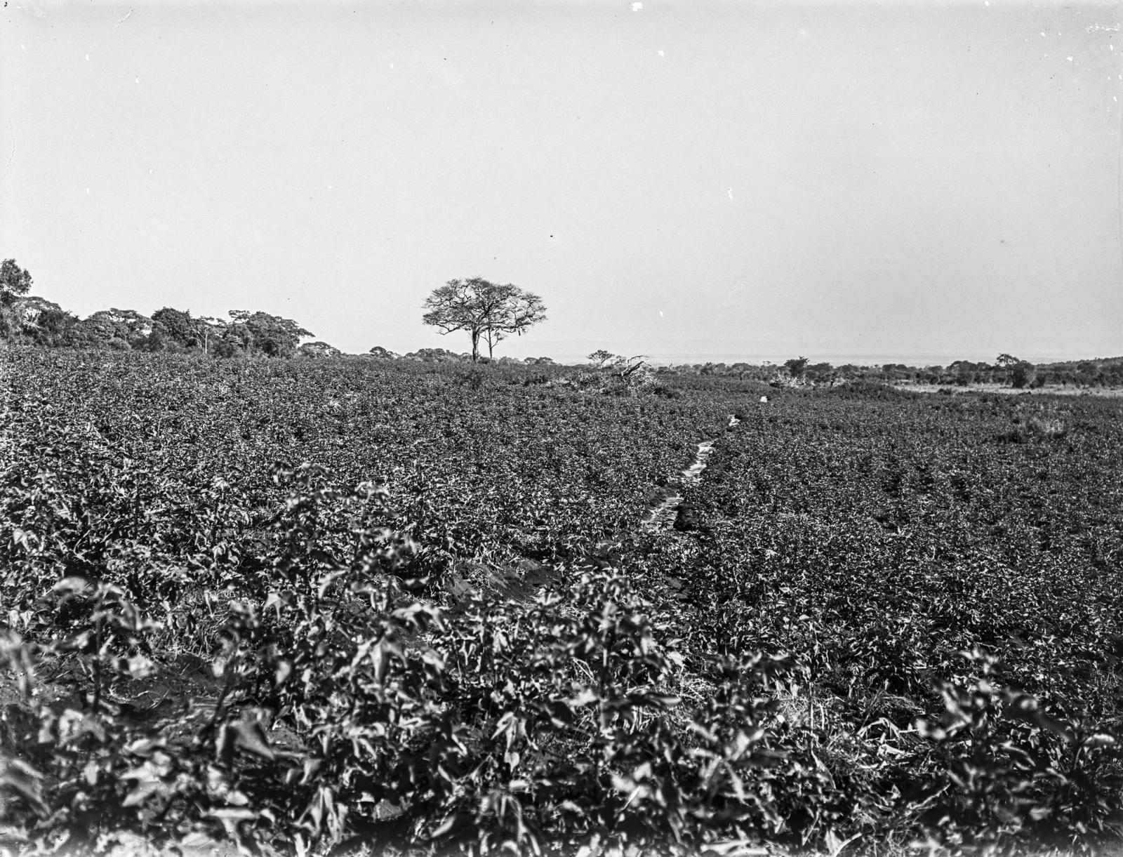 118. Хлопковое поле на Южном Меру возле Аруши