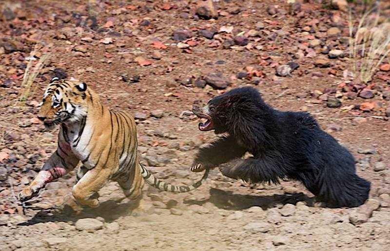 Схватка тигра и медведя